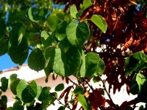 albero_di_giuda